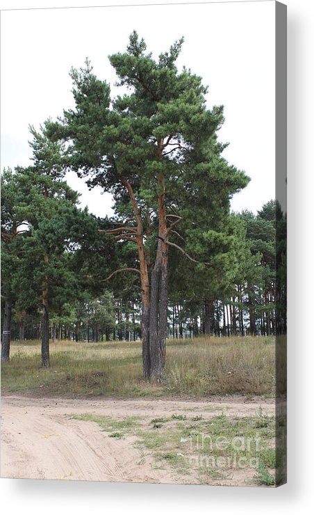 Pine Acrylic Print featuring the photograph Fine Pine by Evgeny Pisarev