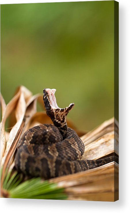 100mm Acrylic Print featuring the photograph Florida Cottonmouth by JP Lawrence