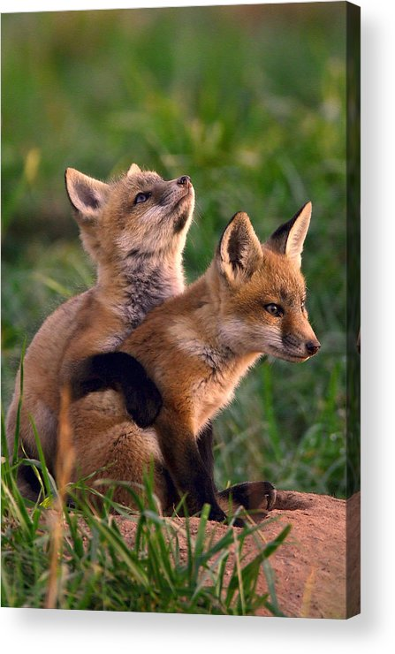 Fox Acrylic Print featuring the photograph Fox Cub Buddies by William Jobes