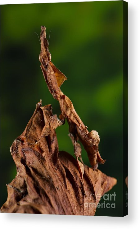 Mantis Acrylic Print featuring the photograph Ghost Or Dead Leaf Mantis by Francesco Tomasinelli