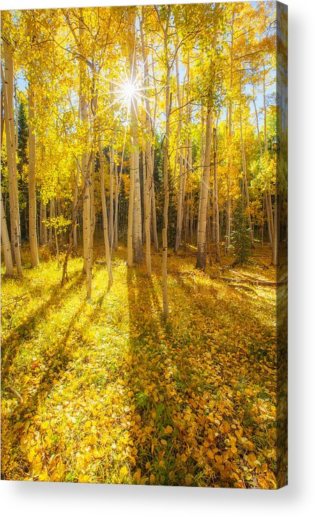 Aspens Acrylic Print featuring the photograph Golden by Darren White