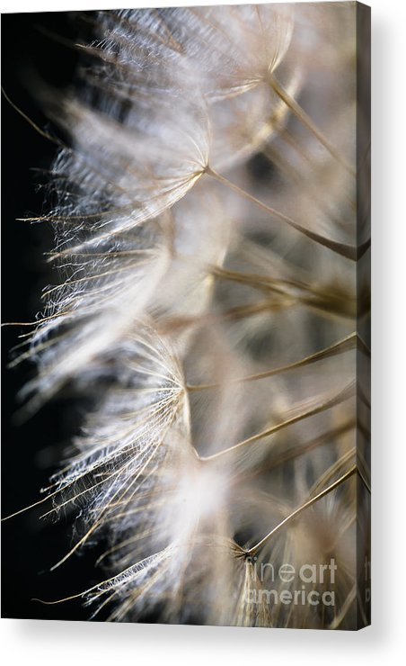 Seed Head Acrylic Print featuring the photograph Gossamer by Jan Bickerton