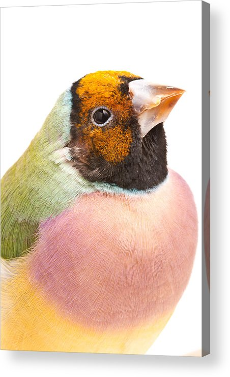Animal Acrylic Print featuring the photograph Gouldian Finch Erythrura Gouldiae by David Kenny