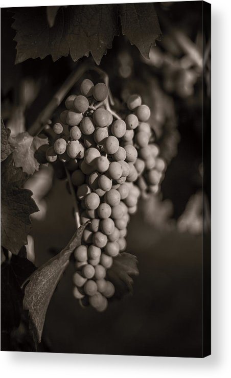 Fine Art Acrylic Print featuring the photograph Grapes In Grey 2 by Clint Brewer