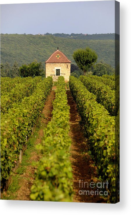 Architectures  Acrylic Print featuring the photograph Grapevines. Premier Cru Vineyard Between Pernand Vergelesses And Savigny Les Beaune. Burgundy. Franc by Bernard Jaubert
