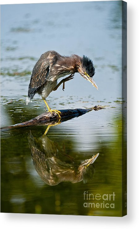 Green Heron Acrylic Print featuring the photograph Green Heron Pictures 488 by World Wildlife Photography