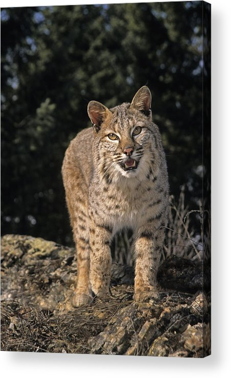 Bobcats Acrylic Print featuring the photograph G&r.grambo Mm-00006-00275, Bobcat On by Rebecca Grambo