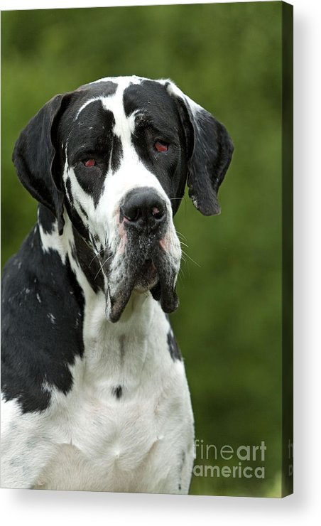 Great Dane Acrylic Print featuring the photograph Harlequin Great Dane by Jean-Michel Labat