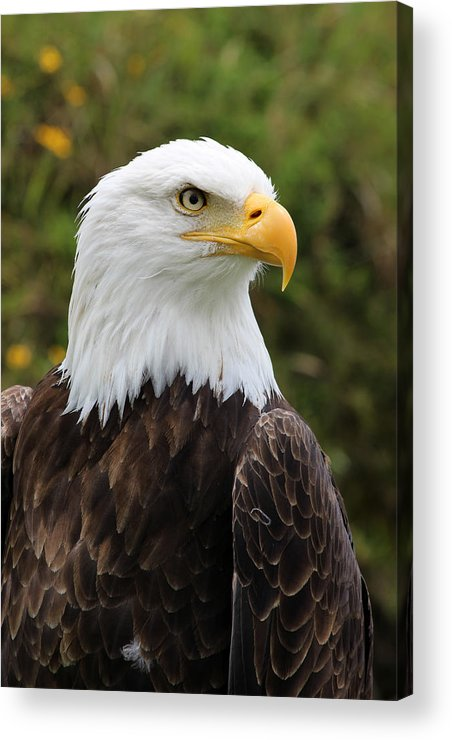 American Bald Eagle Acrylic Print featuring the photograph Head Of A Male American Bald Eagle by Robert Hamm