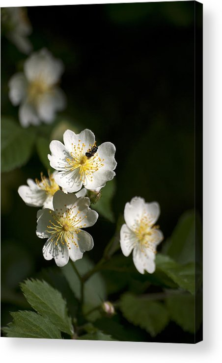 Flower Acrylic Print featuring the photograph Heaven's Scent by Christina Rollo