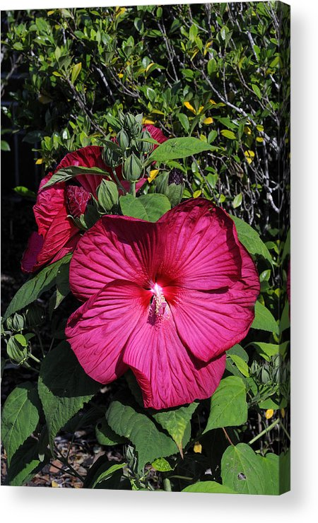 Hibiscus Acrylic Print featuring the photograph Hibiscus #2 by William McEvoy