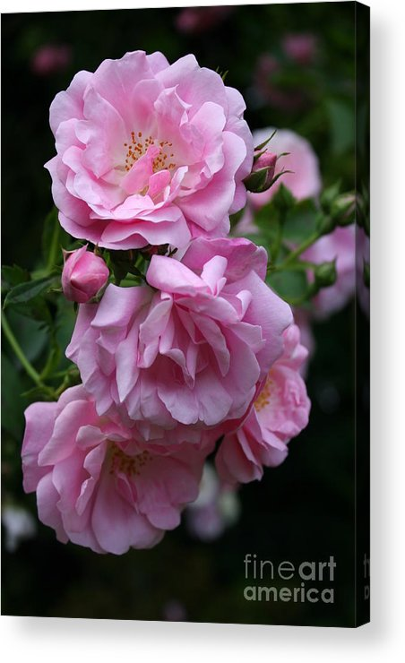 Roses Acrylic Print featuring the photograph In Full Blow by Christiane Schulze Art And Photography
