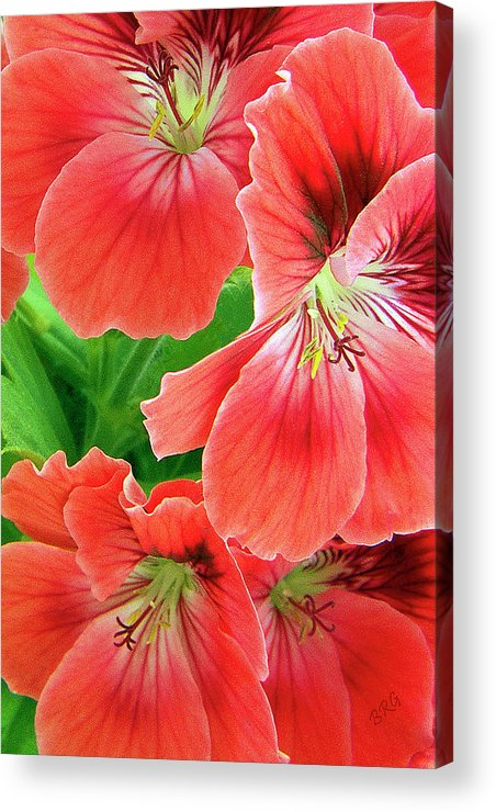 Red Acrylic Print featuring the photograph In The Garden. Geranium by Ben and Raisa Gertsberg