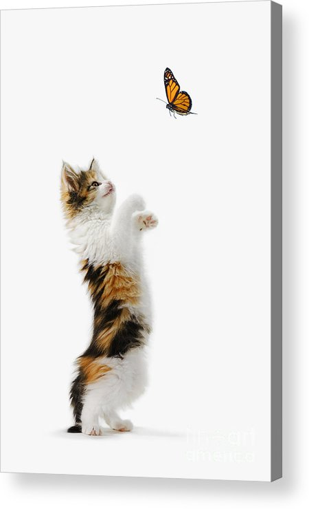 Active Acrylic Print featuring the photograph Kitten And Monarch Butterfly by Wave Royalty Free