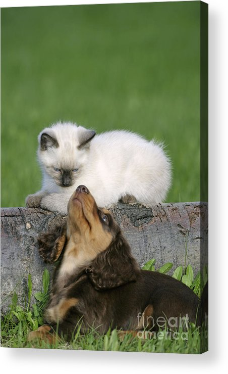 Siamese Kitten Acrylic Print featuring the photograph Kitten And Puppy Playing by Rolf Kopfle