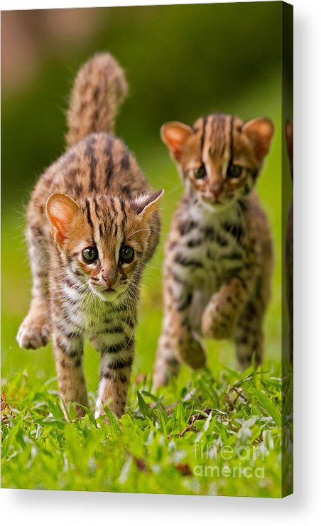 Adorable Acrylic Print featuring the photograph Leopard Stampede by Ashley Vincent