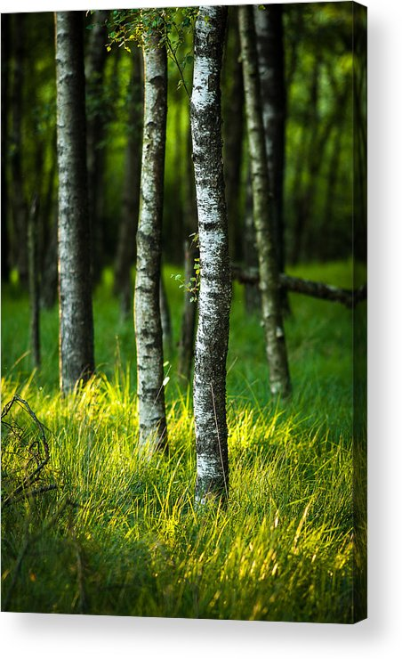 Forest Acrylic Print featuring the photograph Life Is A Birch by Andy Bitterer