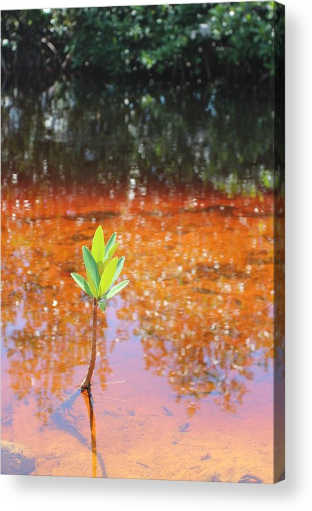 Landscape Acrylic Print featuring the photograph Live Mangrove Tree by Raul Ortiz-Pulido