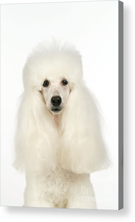 Miniature Poodle Acrylic Print featuring the photograph Miniature Poodle Dog by John Daniels