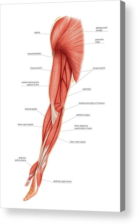Muscles Of Upper Limb Acrylic Print By Asklepios Medical Atlas