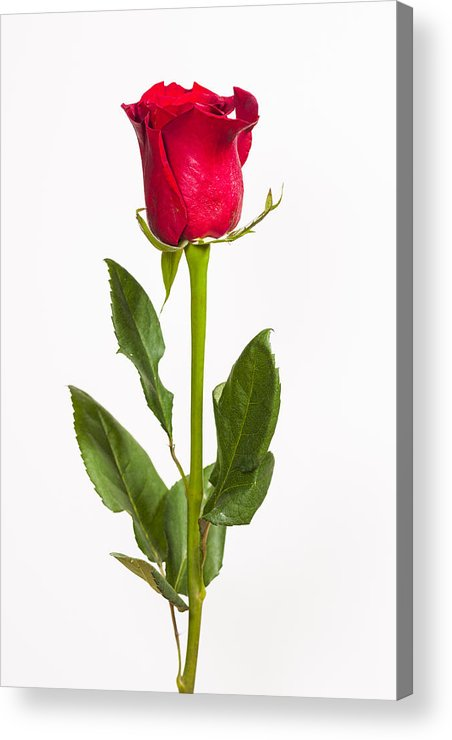 3scape Photos Acrylic Print featuring the photograph One Red Rose by Adam Romanowicz