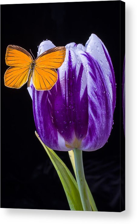 Orange Acrylic Print featuring the photograph Orange Butterfly On Purple Tulip by Garry Gay