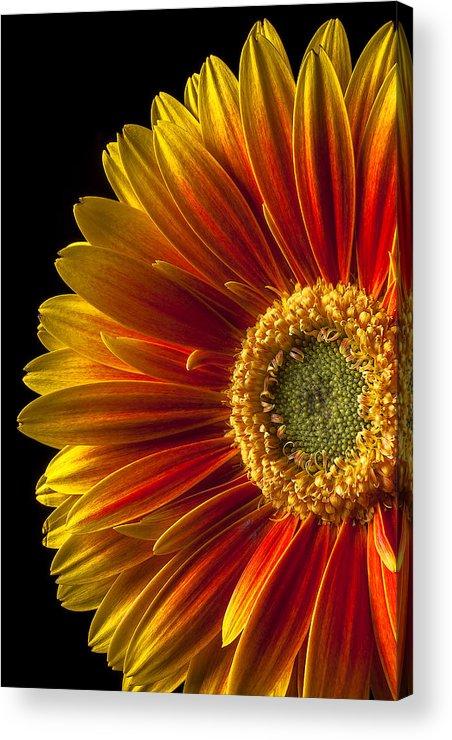 Gerbera Acrylic Print featuring the photograph Orange Yellow Mum Close Up by Garry Gay