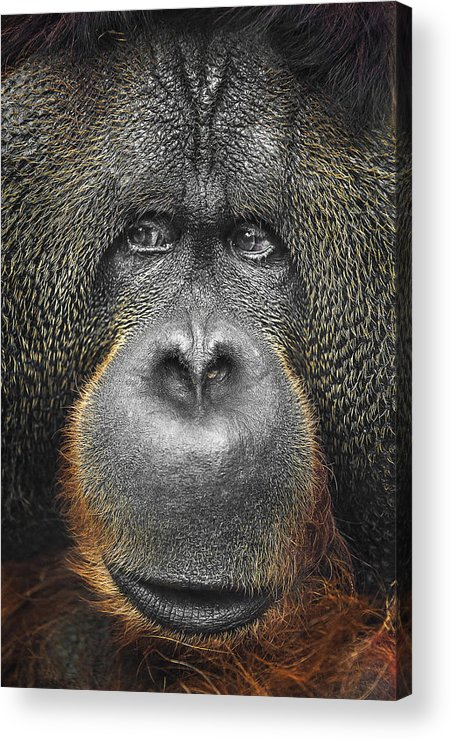 Nature Acrylic Print featuring the photograph Orangutan by Svetlana Sewell