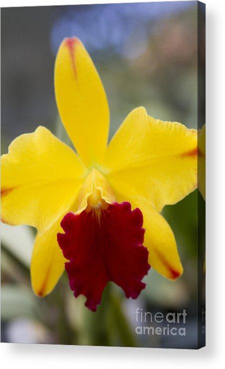 Aloha Acrylic Print featuring the photograph Orchid Beauty - Cattleya - Pot Little Toshie Mini Flares Mericlone Hawaii by Sharon Mau