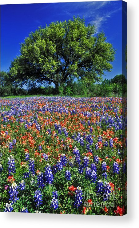 Texas Acrylic Print featuring the photograph Paintbrush And Bluebonnets - Fs000057 by Daniel Dempster