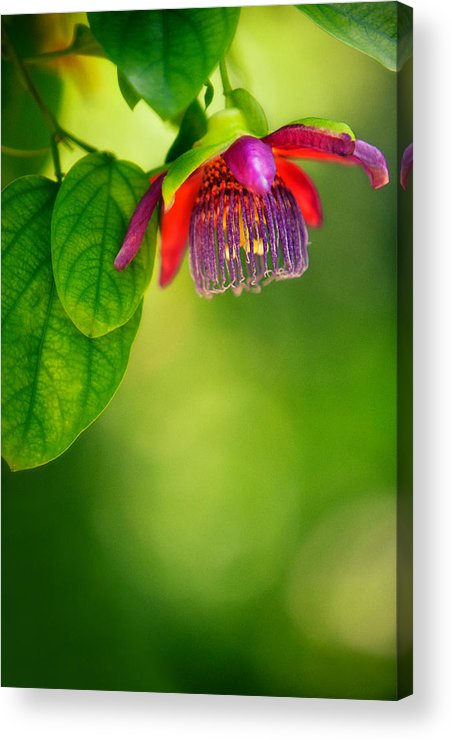 Passion Flower Acrylic Print featuring the photograph Passion Flower by Julio Solar