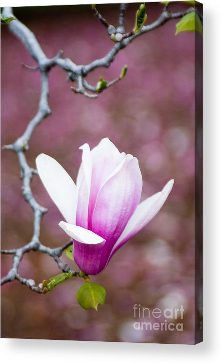 Background Acrylic Print featuring the photograph Pink Magnolia Flower by Oscar Gutierrez