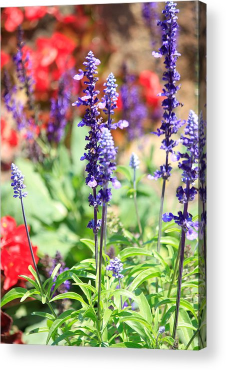 Nature Acrylic Print featuring the photograph Purple Punch by Tera Bunney