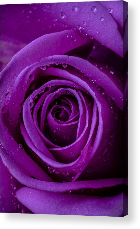 Purple Acrylic Print featuring the photograph Purple Rose Close Up by Garry Gay