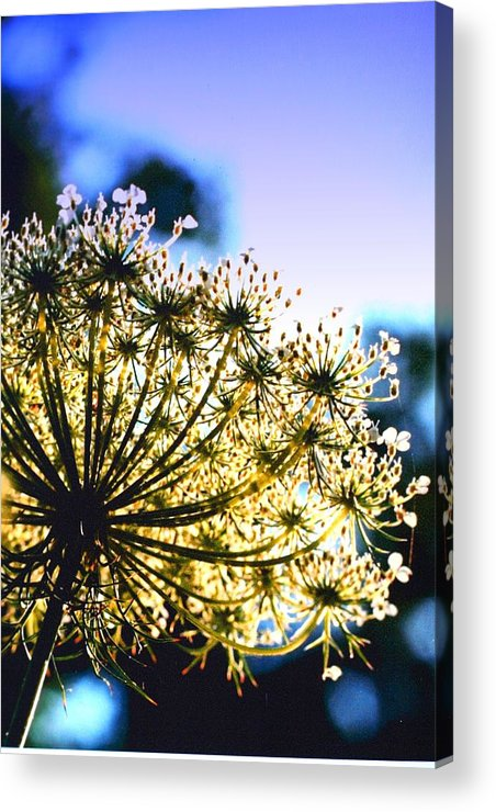Queen Annes Acrylic Print featuring the photograph Queen Anne's Lace II by Diane Merkle