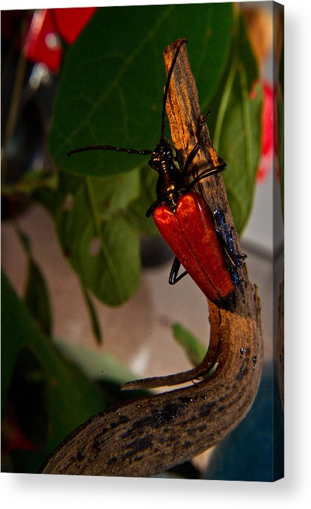 Red Acrylic Print featuring the photograph Red Glowing Beetle by Douglas Barnett