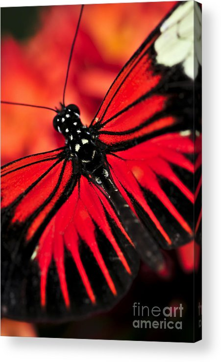 Butterflies Acrylic Print featuring the photograph Red Heliconius Dora Butterfly by Elena Elisseeva