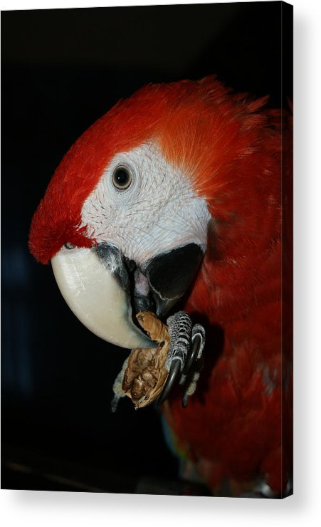 Red Macaw Acrylic Print featuring the photograph Red Macaw by Ernie Echols