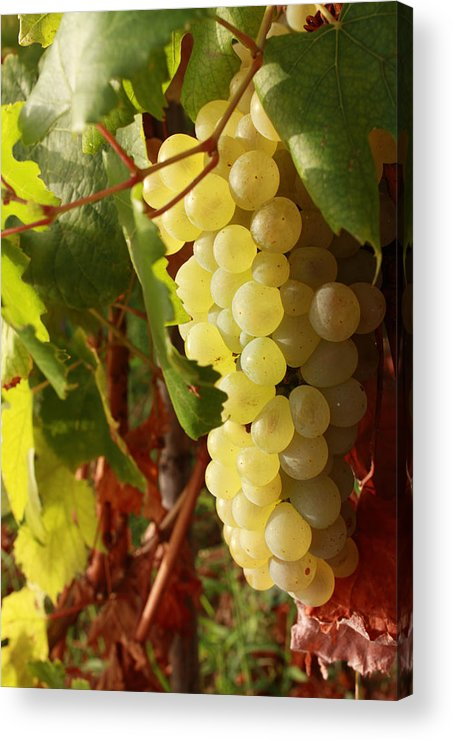 Ripe Grapes Acrylic Print featuring the photograph Ripe Grapes by Alex Sukonkin