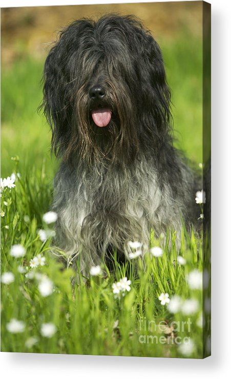 Schapendoes Acrylic Print featuring the photograph Schapendoes, Or Dutch Sheepdog by Jean-Michel Labat