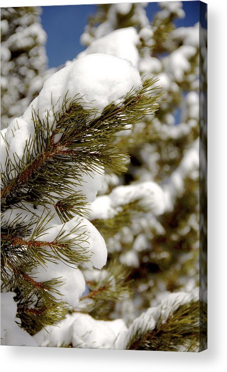 Vail Snow Ski Board Powder Nature Mountains Tree Acrylic Print featuring the photograph Snow Pine by Nic Vasquez