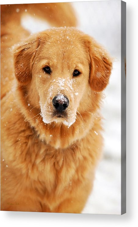 Snowy Acrylic Print featuring the photograph Snowy Golden Retriever by Christina Rollo