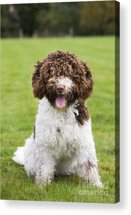 Spanish Water Dog Acrylic Print featuring the photograph Spanish Water Dog by Johan De Meester