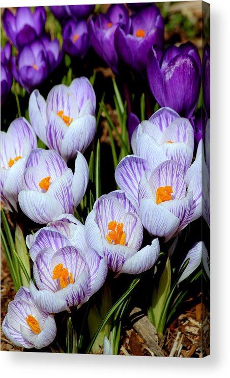 Crocus Acrylic Print featuring the photograph Spring Crocus by Rosanne Jordan