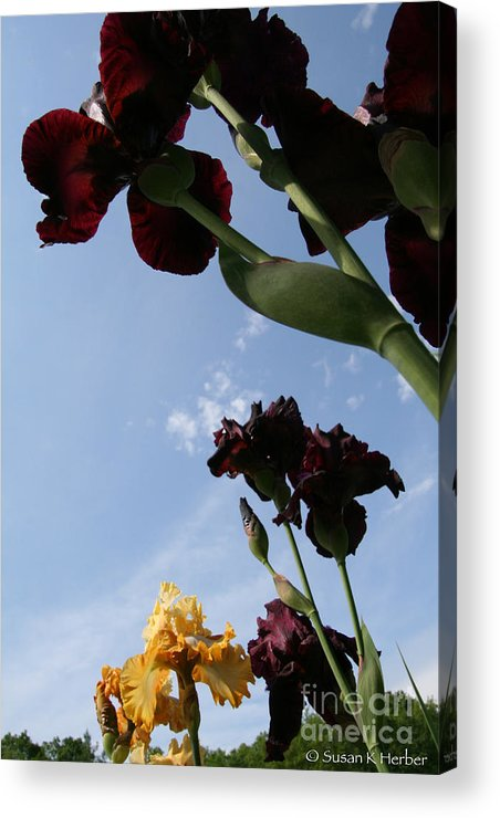 Flower Acrylic Print featuring the photograph Spring Iris Skies by Susan Herber
