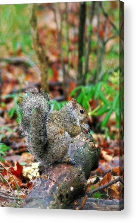 Squirrel Acrylic Print featuring the photograph Squirrel by CE Haynes