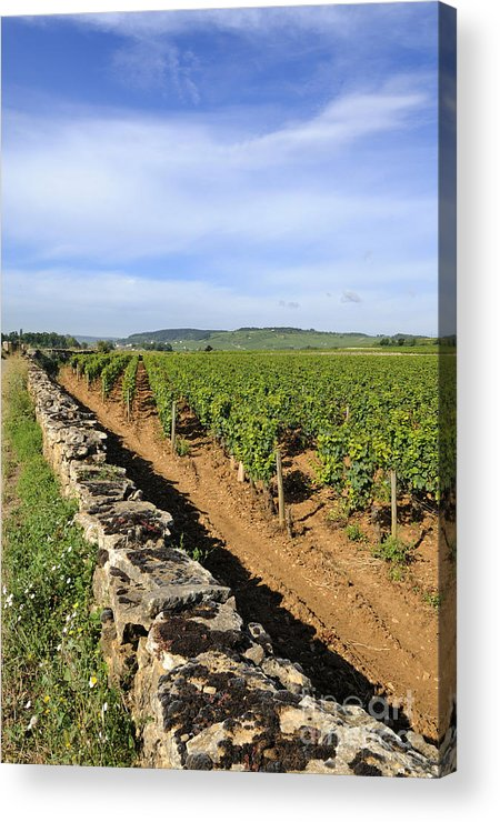 Agricultural  Acrylic Print featuring the photograph Stone Wall. Vineyard. Cote De Beaune. Burgundy. France. Europe by Bernard Jaubert