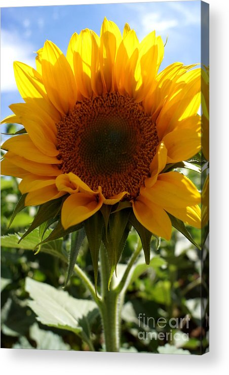 Agriculture Acrylic Print featuring the photograph Sunflower Highlight by Kerri Mortenson