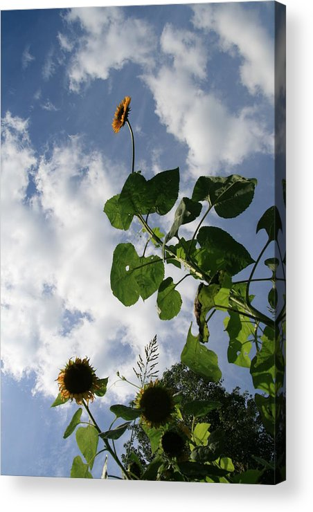 Sunflower Acrylic Print featuring the photograph Super Sunflower by Neal Eslinger