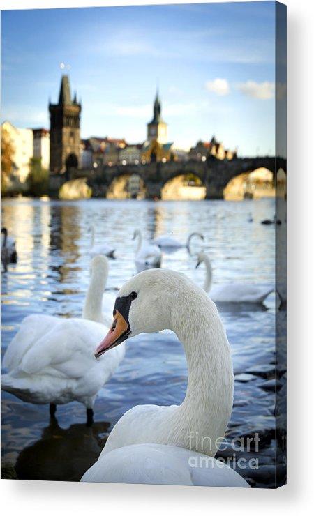 Prague Acrylic Print featuring the pyrography Swans On Vltava River by Jelena Jovanovic